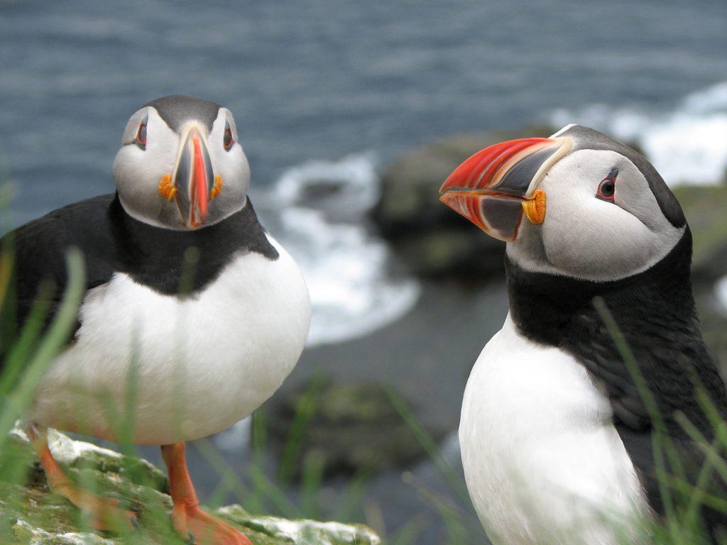 Papageitaucher-Pärchen nisten an den Klippen von Látrabjarg in den Westfjorden Islands