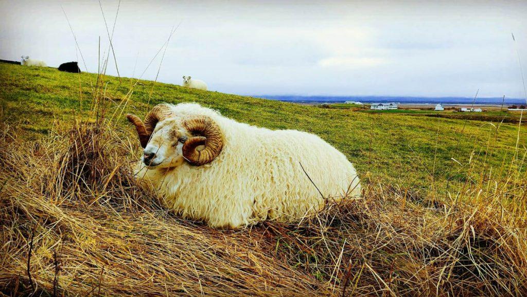Glücklicher Schafsbock in Island