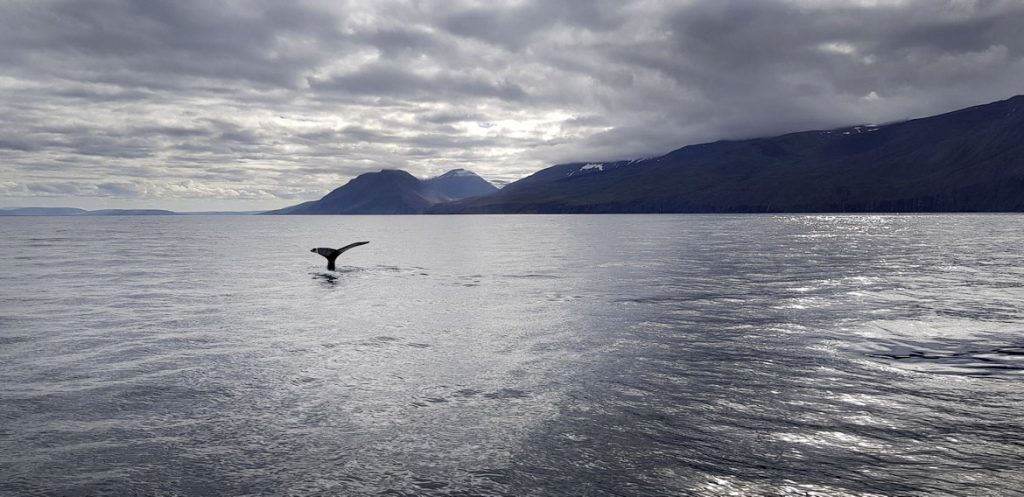 Whale Watching in Husavik