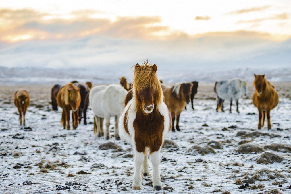 Islandpferde in Südisland