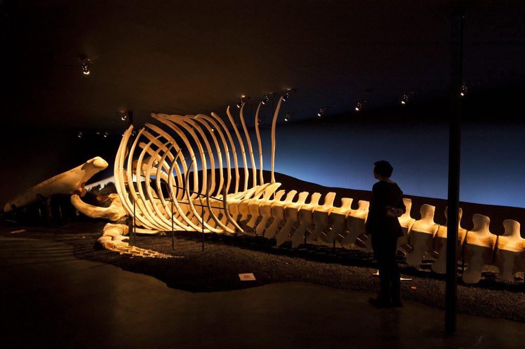 Wal Knochen in einer Ausstellung im Walmuseum in Island